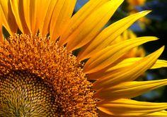 Photo closeup of a Sun Flower by Samuel Johnson on 500px
