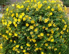 Hypericum Hidcote. Member of the St. Johns Wort family. Note: Should be pruned in April next year.