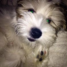 ~ Daily Dose of Cuteness ~  Milo the Morkie wants to say goodnight!  (Shared by Andrea Kabigting) #DogoftheDay http://aboutmorkies.com/ Follow us: Facebook.com/YorkiesMorkiesMaltese Twitter.com/morkienation #dog #doglovers #animals #pets #yorkies #yorkie #yorkielovers #petlovers #dogowners #puppy #adorablepets #sillydogs #smallanimals #instadogs #instayorkie #instapuppy #instaanimals #petsofinstagram #dogsofinstagram #yorkieofinstagram #puppylove #animallovers #ilovemypet #ilovemyyorkie
