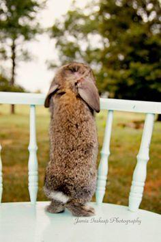 Mini lop. Cute baby bunny