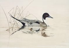 Pintail Duck Painting by jimdickens on Etsy Duck Drawing, Pastel Drawing, Duck Tattoos, Boho Tattoos, Duck Art, Organic Art, Animal Sketches, Wildlife Art, Pyrography
