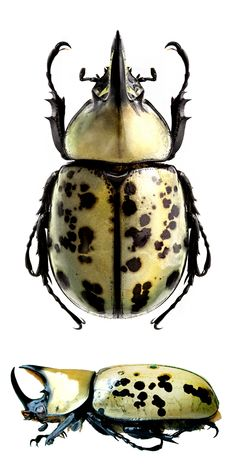 Beetle Insect, Insect Art, Beetle Bug, Insect Photos, Falter, June Bug, Beautiful Bugs, Bugs And Insects, Reptiles