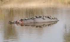 A friendly hippo lets a dozen terrapins rest on its back in September, 2014, in Kruger National Park, South Africa.  Hippopotamuses are normally aggressive animals but this gentle giant seemed to have a soft spot for the terrapins.