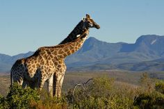Giraffes in the morning Botlierskop Private Game Reserve South Africa