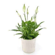 """Also known as """"Mauna Loa,"""" the Peace Lily can add some tropical flair to your workspace with its large and lush leaves, and pretty white blooms. planting 7 Office Plants You Won't Kill Common House Plants, Easy House Plants, Tall Indoor Plants, Outdoor Plants, Best Office Plants, Corn Plant, Floor Plants, Peace Lily, Plant Pictures"""