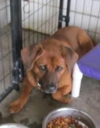 G-1 Virgil is an adoptable Chow Chow Dog in Canton, OH. Picked up as a stray on 4/9.  Available on 4/13.   $ 86.00 fee includes license, 5 way shot if able and available. $50.00 goes to the cost of sp...