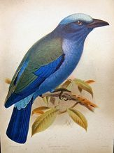 Vintage Lithograph of Bird, Purple-winged Roller by J. Keulemans from Hanhart Firm from Bayshore Emporium (Ruby Plaza)