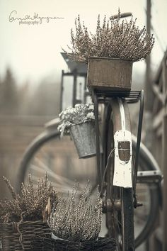 vintage bike with lavender in the baskets.this is beautiful