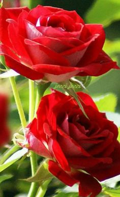 Captivating Why Rose Gardening Is So Addictive Ideas. Stupefying Why Rose Gardening Is So Addictive Ideas. Beautiful Flowers Wallpapers, Beautiful Rose Flowers, Flowers Nature, Red Flowers, Rose Flower Pictures, Flower Images, Green Rose, Flower Wallpaper, Flower Making