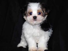 Very cute Zuchon Teddy Bear Dog Teddy Bear Puppies, Cute Teddy Bears, Dogs And Puppies, Puppy Pictures, Animal Pictures, Cute Pictures, Cute Dogs Breeds, Dog Breeds, Animals