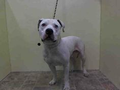 GONE --- Manhattan Center    PORSCHE - A1001464   *** SAFER: NH ONLY ***   MALE, WHITE, PIT BULL MIX, 2 yrs  STRAY - STRAY WAIT, NO HOLD  Reason STRAY   Intake condition INJ MINOR Intake Date 05/29/2014, From NY 10460, DueOut Date 06/01/2014,  https://www.facebook.com/photo.php?fbid=813192415360306&set=a.617938651552351.1073741868.152876678058553&type=3&permPage=1