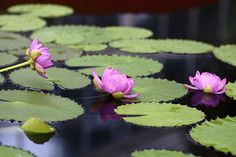 Trio Sacred Lotuses