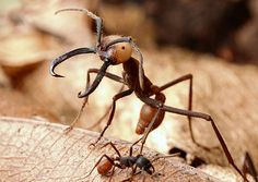 An Eciton burchellii soldier brandishes her hooked mandibles. These unwieldy weapons are designed to grab vertebrate predators and deter them from stealing the army ants' own catch. Types Of Ants, Ant Insect, Ant Colony, Deer Ticks, Chimera, Great White Shark, Vertebrates, Predator, Animal Kingdom