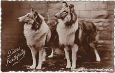 Collie postcard c.1940