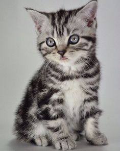 Looking for grey tabby cat names? Here is a collection of most popular grey tabby cat names. Tabby Kittens For Sale, Grey Tabby Kittens, Grey Kitten, Kitten For Sale, Cats For Sale, Grey Cats, Tabby Cat Names, Grey Cat Names, Cat Pose