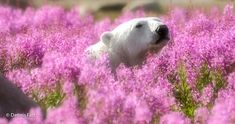 Adorable Polar Bear Plays in Flower Fields Canadian photographer Dennis Fast took advantage of his stay at the Canadian lodge Churchill Wild in Manitoba to capture this rare sight. Pictures Of Polar Bears, Baby Animals, Cute Animals, Wild Animals, Bored Panda, Rare Photos, Landscape Photos, Animal Kingdom, Arctic
