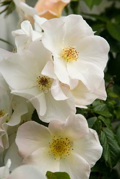 detail view of three single, white rose blossoms of Sally Holmes in the Sissinghurst-style white garden