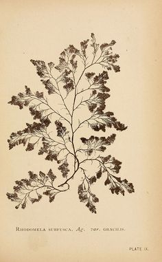 B. Whidden, Sea mosses, Boston, 1893.