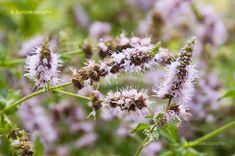 Fodormenta (Mentha spicata) gondozása, szaporítása (Zöldmenta)