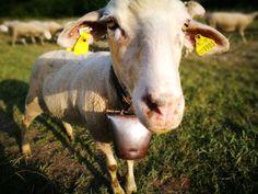 Sheep Photo Reference, Sheep, Animals, Animales, Animaux, Animal, Animais