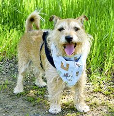 Jake is a male Wirehair/Cairn Terrier, about 4 or 5 years old, who weighs about 15 pounds. He has a medium-length wiry coat. He is best for a family wioth breed experience who will take him on outdoor hikes and walks. He is house trained to dog door, is good in a car and on a leash, can play fetch and likes to swim. Call 356-2204. Go to www.sadt.info. Go to www.redding.com for more adoptable pets.