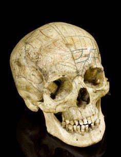 pics of skulls | skull, skull fossils, pictures of skulls, animal skulls, human skulls ...