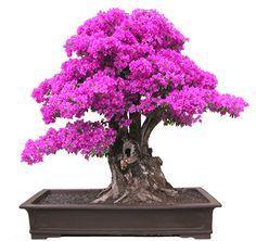 Image from http://bonsaibark.com/wp-content/uploads/bebbboug.jpg.