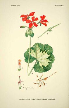 Pelargonium botanical drawing