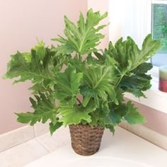 "Philodendron ""˜Hope' (Philodendron selloum x hybrid) This no-nonsense, easy-care plant is an indestructible houseplant that filters indoor toxins from the"