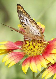 White Peacock Butterfly by Marjie Goldberg