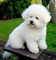 I was blessed with my 2nd Bichon Frise his name was Bjorn but we usually called him Bubby or Bundles  what a joy! I picked this pin because it looks just like him. ~ DeeAnn