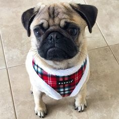 Puppia Uptown harness at www.ilovepugs.co.uk post worldwide