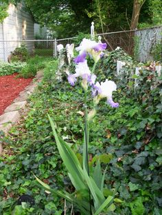 my gorgeous iris- will transplant to another location in the garden