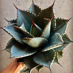Garden Plants, House Plants, Desert Plants, Cactus Y Suculentas, Cacti And Succulents, Floral Style, Planting Flowers, Gardening, Stunning Women
