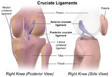 Cruciate ligament - Wikipedia, the free encyclopedia