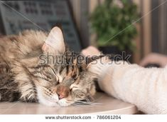 Cat sleeps on the table. Cat Maine Coon. Muzzle cat. Stock photography, images, pictures, Illustrations, ideas. Download vector illustrations and photos on Shutterstock, Istockphoto, Fotolia, Adobe, Dreamstime