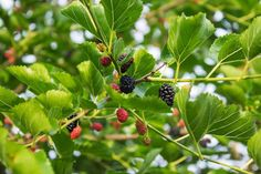 A descriptive summary of tiny male and female flowers on the drooping flower catkins of mulberry trees. Mulberry Fruit, Mulberry Tree, Drought Tolerant Plants, Fruit Trees, Men And Women, Something To Do, Female, Flowers, Summary