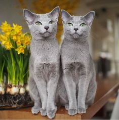 20 of The World's Most Expensive Cat Breeds, Costing Up To $100,000 - Cats In Care - Page 15 #RussianBlueCat