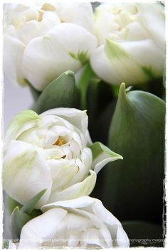 White tulips especially for Karyn G and her lovely white tulip board!!! : )