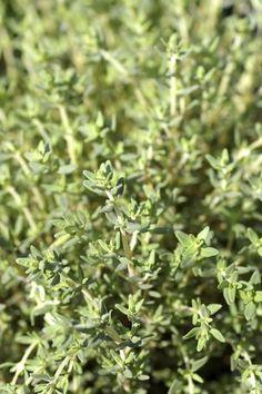 Thym: planter et cultiver du thym