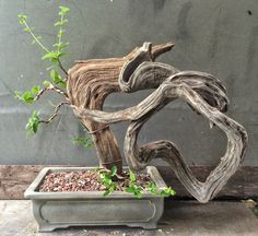 There's something not quite right here…..is it bonsai? Art? | Adam's Art and Bonsai Blog