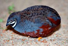 The King Quail (Coturnix chinensis) also known as Button Quail, Chinese Painted Quail, Chun-chi, Asian Blue Quail or Blue-breasted Quail