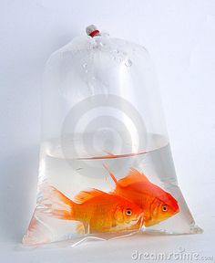 Party. Favers. /. Gifts.  Real. Goldfish.  In a bag.  Traditional.   Great. Idea. For. Children's. party   Or. Even. Adults. Party's