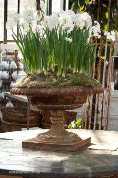 .paper whites set in old iron with a bit of moss cover