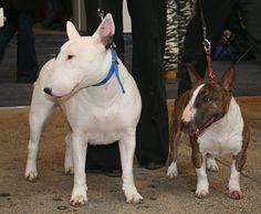 Standard and Miniature Bull Terrier