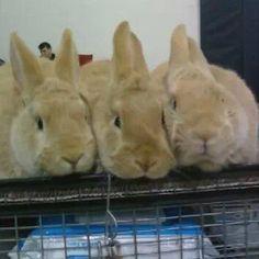 Choosing a 4-H Rabbit