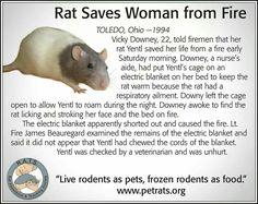 Rats Animals And Pets, Baby Animals, Pet Rodents, Dumbo Rat, Fancy Rat, Cute Rats, Super Cute Animals, Animal Memes, Fur Babies
