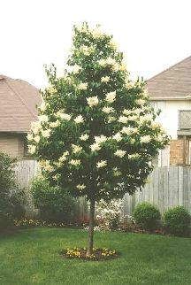 Ivory Silk Japanese Tree Lilac. A striking specimen tree with huge creamy blooms in June. An easy to grow lilac! Grows to 20' x 15'.