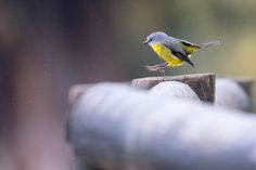 Eastern Yellow Robin, taken in the Yarra Valley, Victoria by EVM Pet and Nature Photography | Deloraine, Tasmania