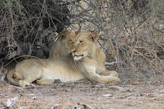 Young Lions at Chobe, Botswana.